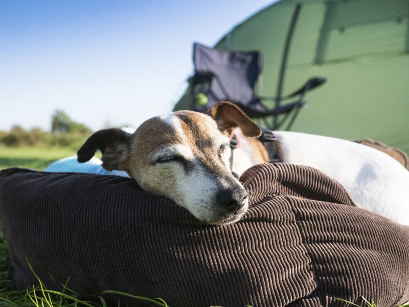 Jack Russell dog out camping