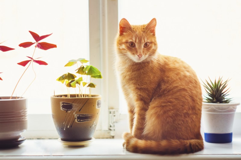 Red Cat Sitting On The Window