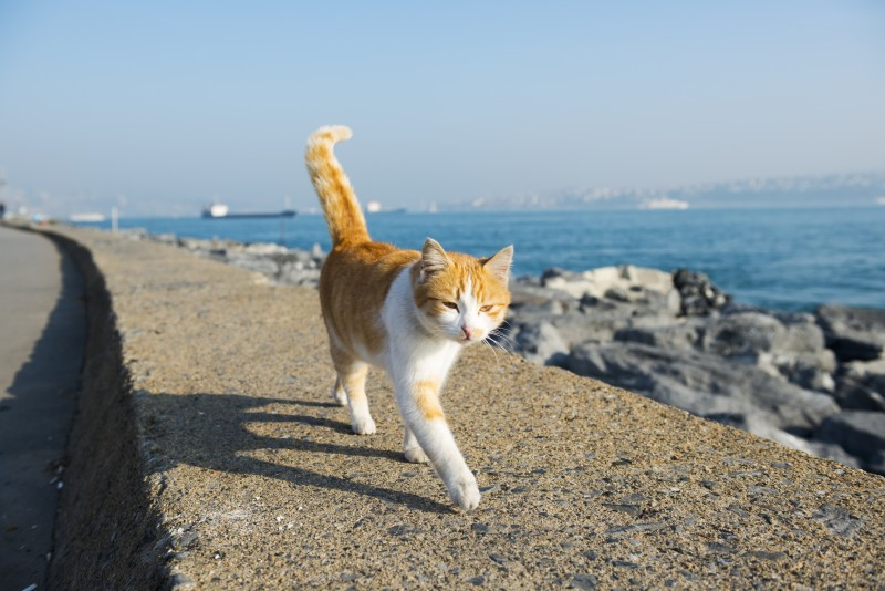 On the catwalk - cat in Istanbul, Turkey