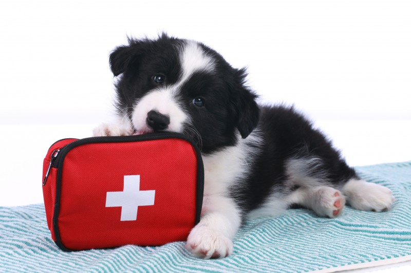 Cute border collie puppy with an emergency kit