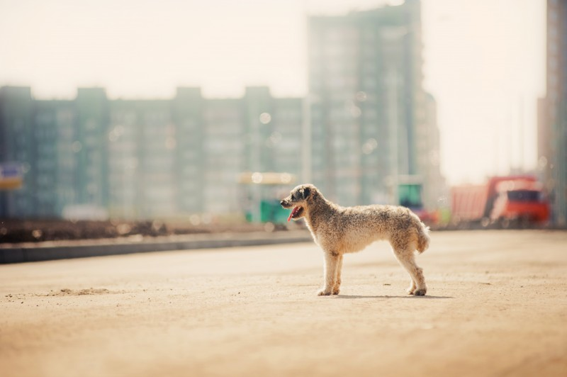 purebred curly red and white dog on the city backgroud