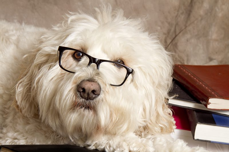 Close-up Studious Dog With Reading Glasses