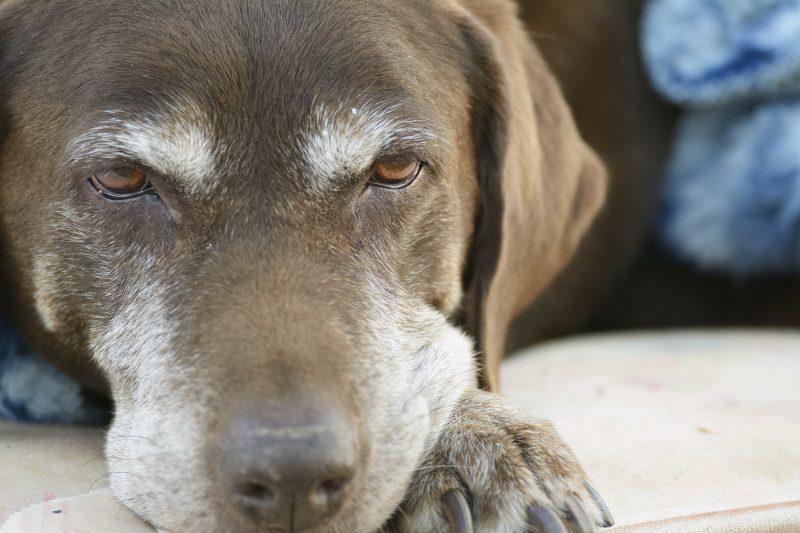 Old Chocolate lab dog