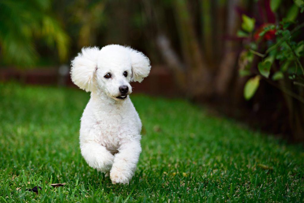 smarest dog breeds