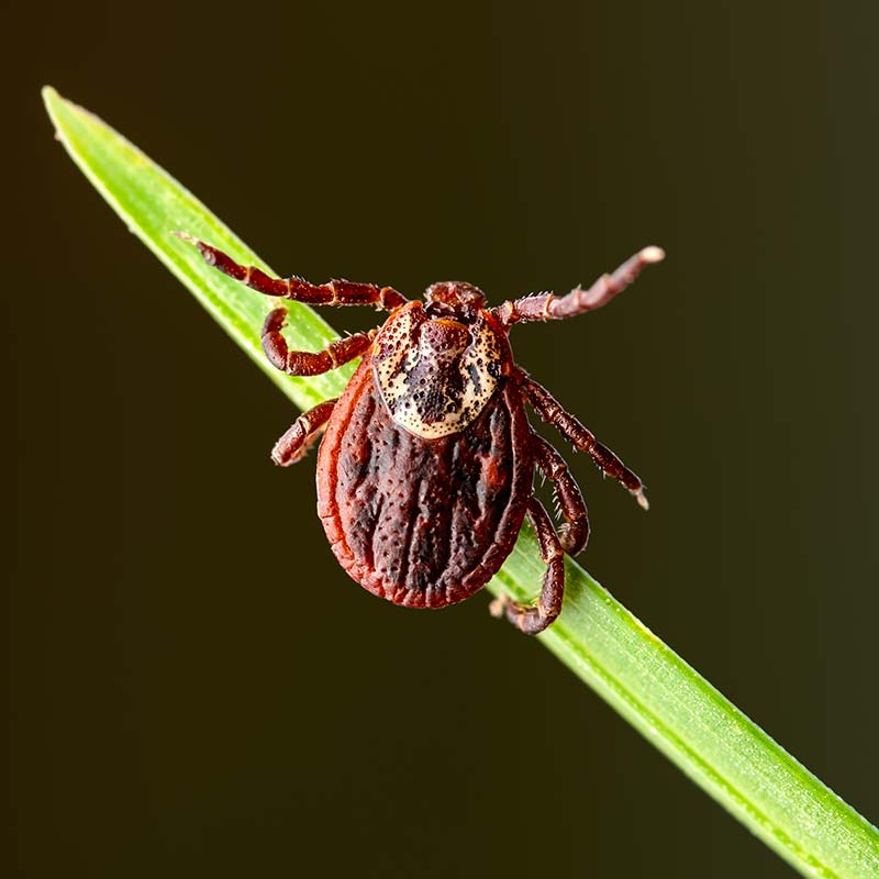 It's important to remove a tick the proper way to avoid tick-borne illness in pets