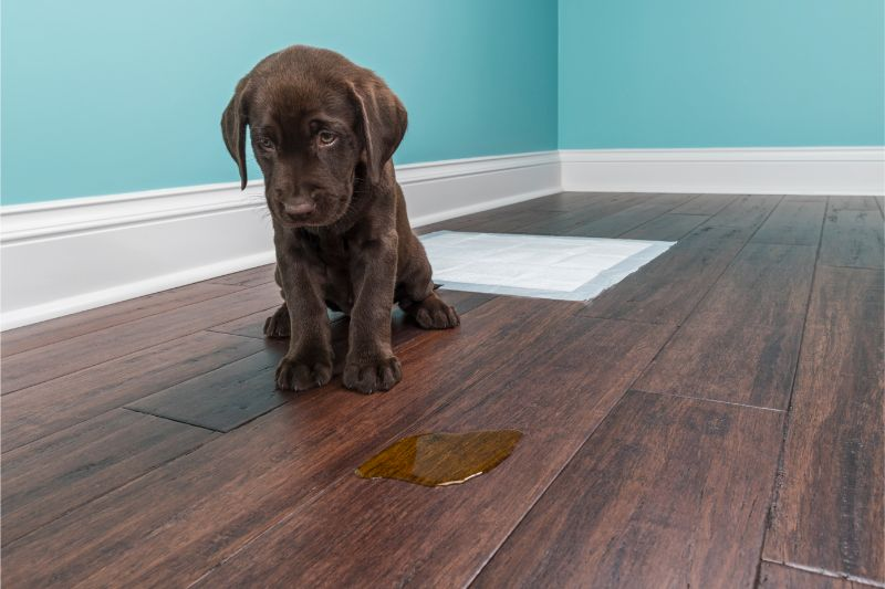 A chocolate lab puppy looks abashed as it sits next to a puddle of piddle on a hardwood floor in a teal room