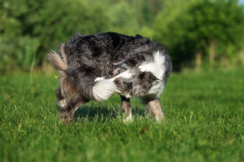 A dog chases his tail