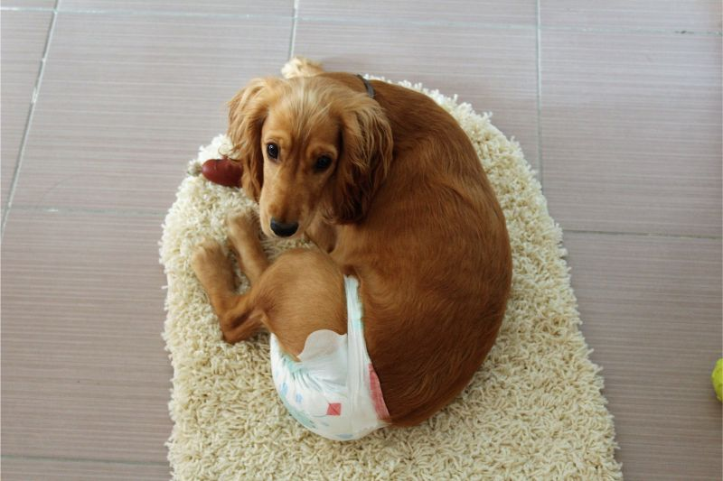 A Golden Retriever laying on a small area rug wearing pet diapers