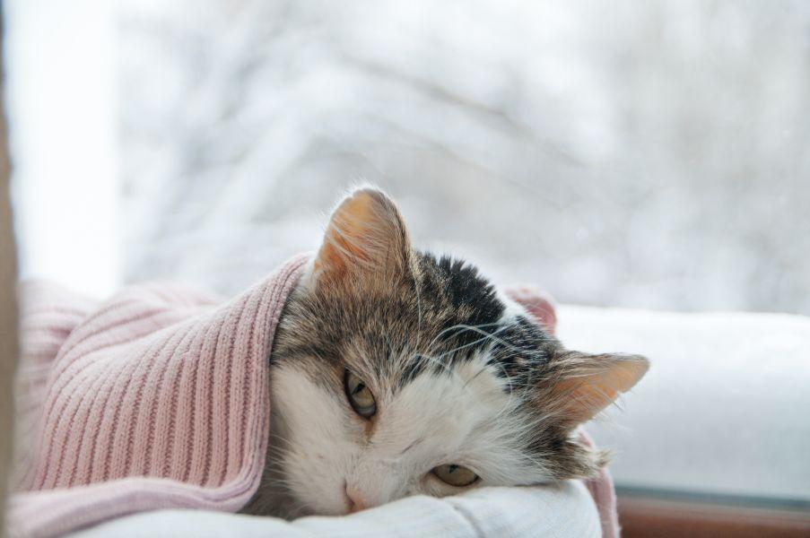 Beverly Hills MI sick cat under blanket