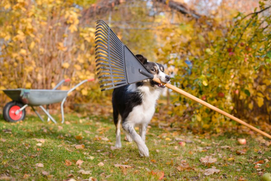 Fall pet safety: Detroit dog with rake