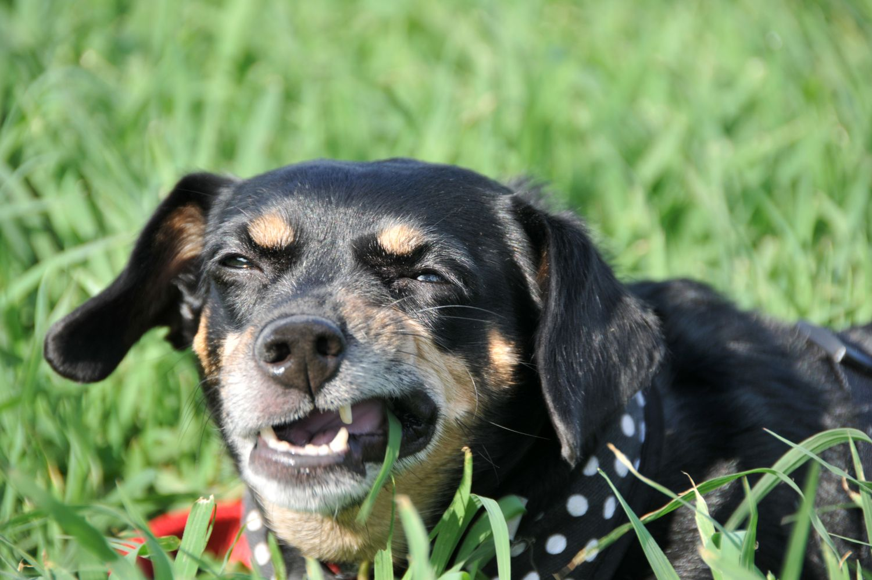 Beverly Hills MI dog eating grass