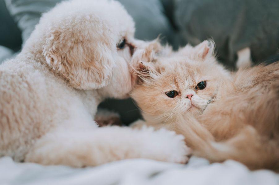 A dog licks a cat's ear.