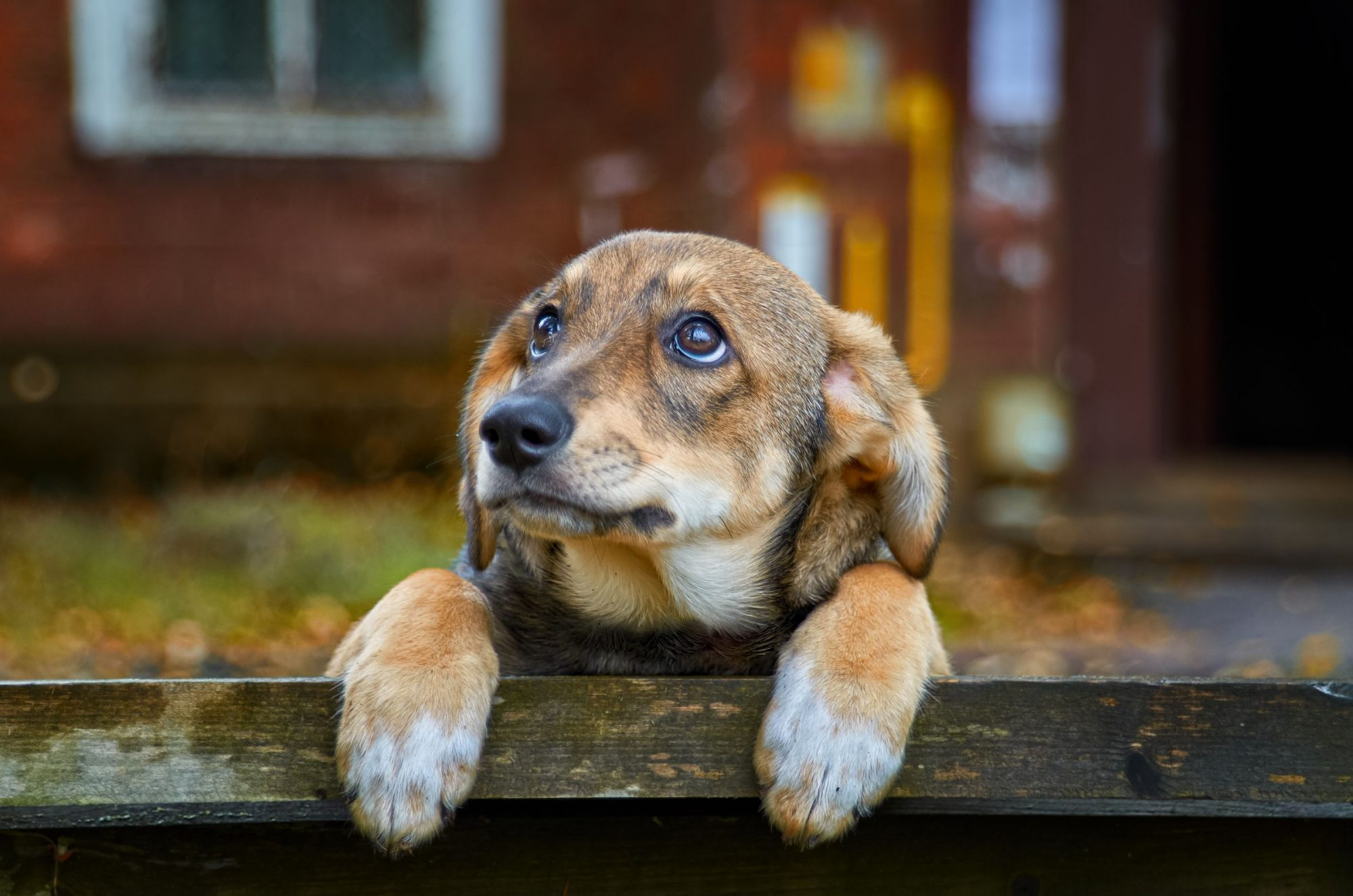 A dog stands against a wood fence.