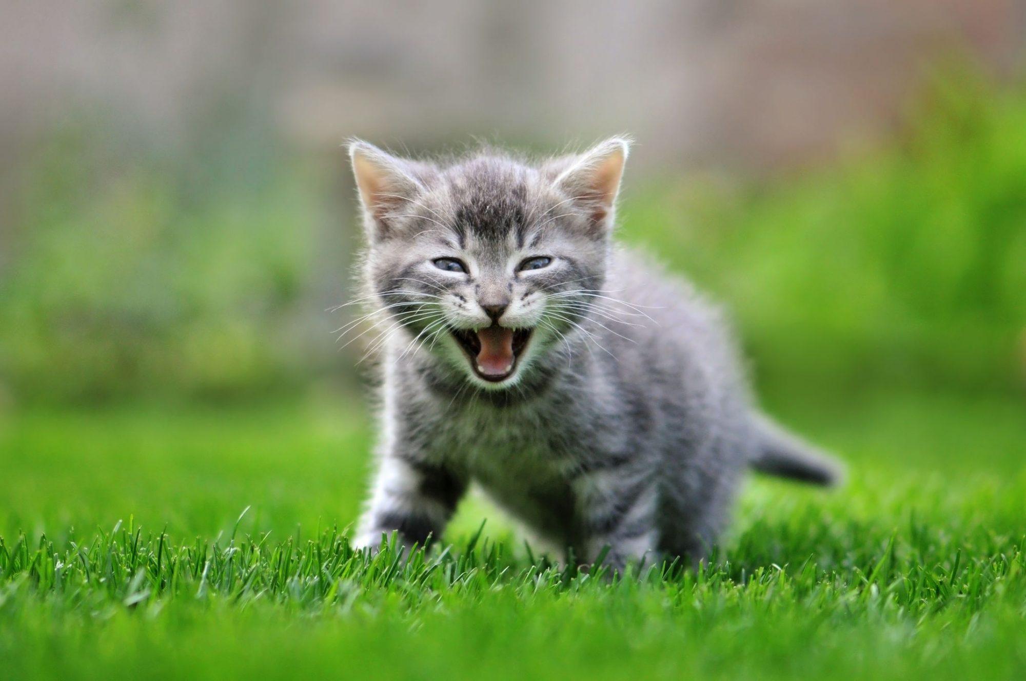A kitten meows.