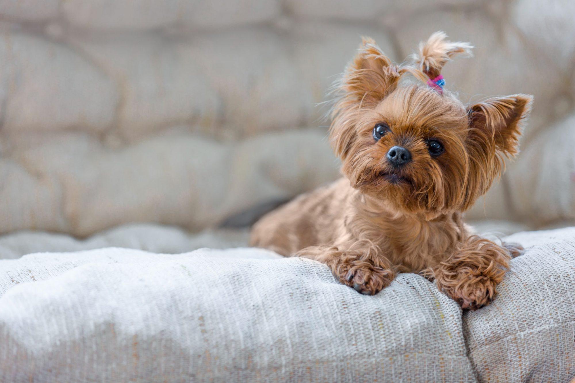 Beverly Hills, MI small dog.