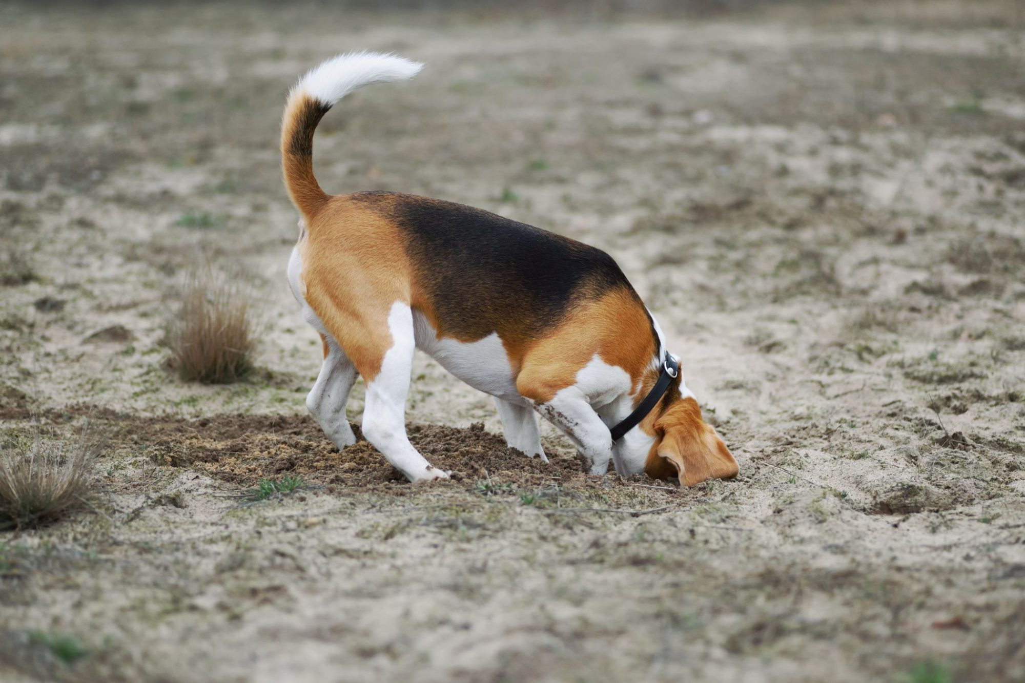 Dog burying and digging in backyard.