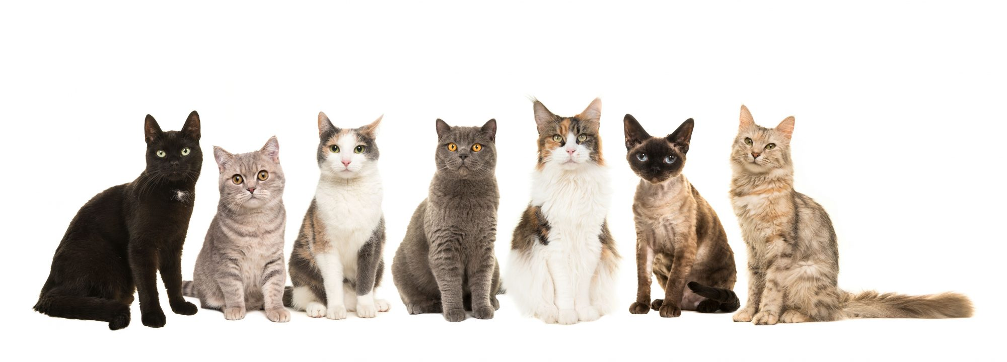 Various cat breeds sitting next to each other.