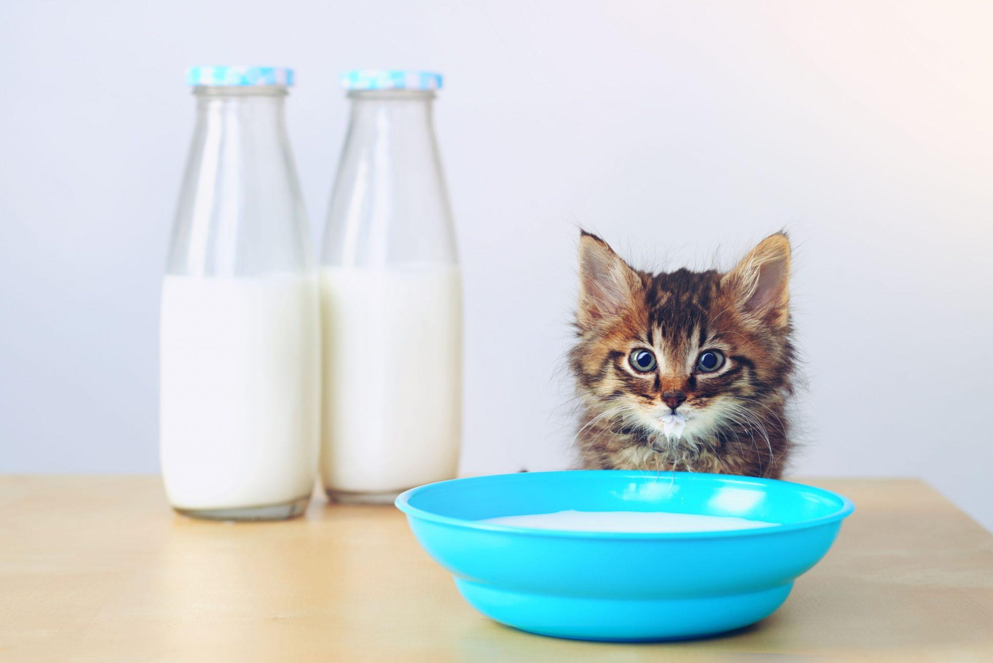 Cat next to bowl of milk.