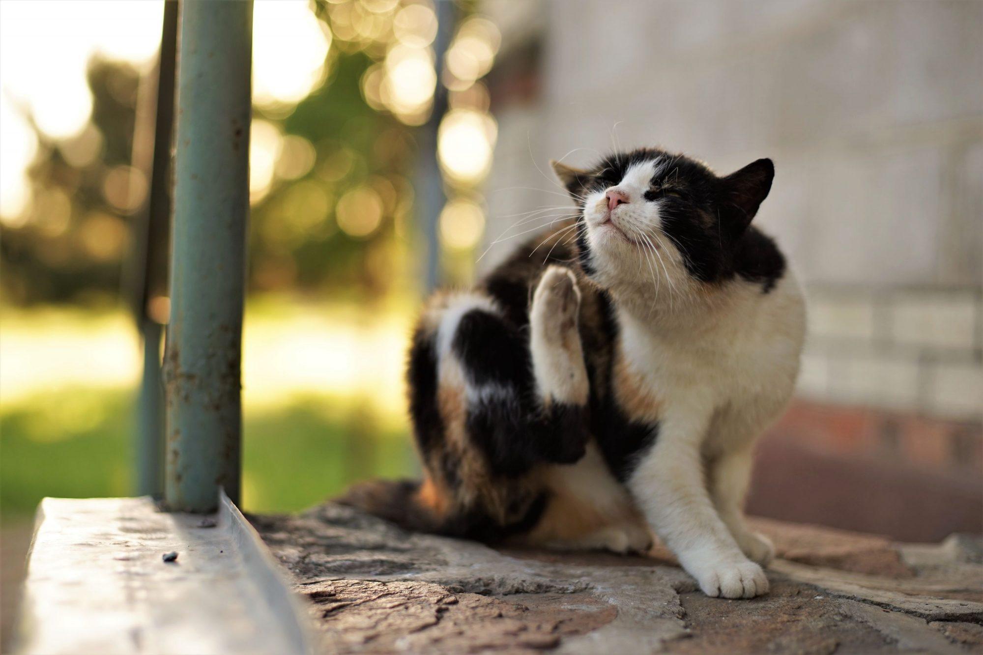 pet cat itching itself outside.